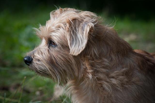 Top Terriers